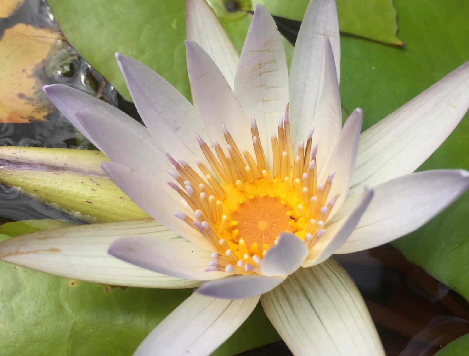 Lotus blossom mudra pranala yoga meets the haka all blacks rugby lotus in bloom in the pond in front of my yoga classroom izmirmasajfo