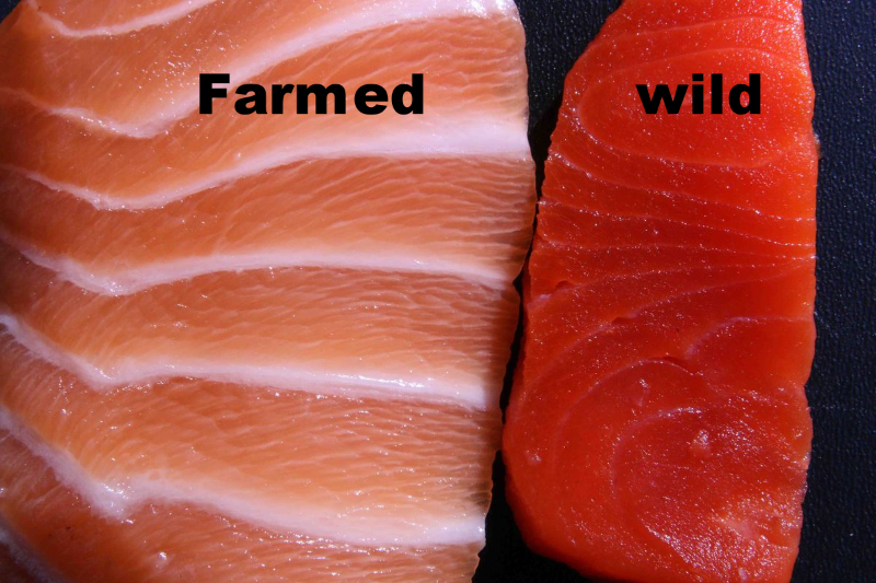 How to tell if the salmon on your plate is toxic farmed for Fish farms near me