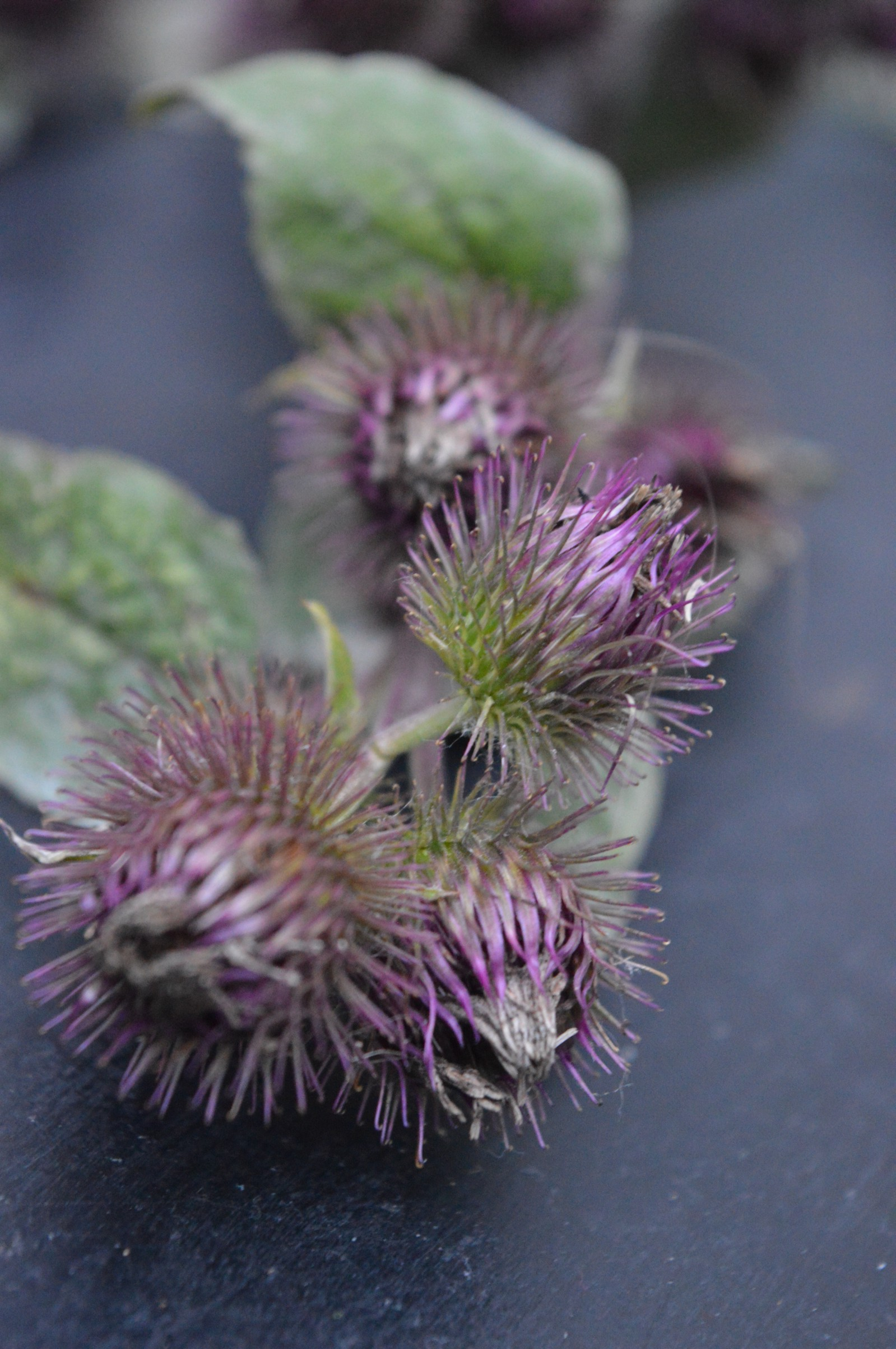 Root and burdock leaf: medicinal properties and application