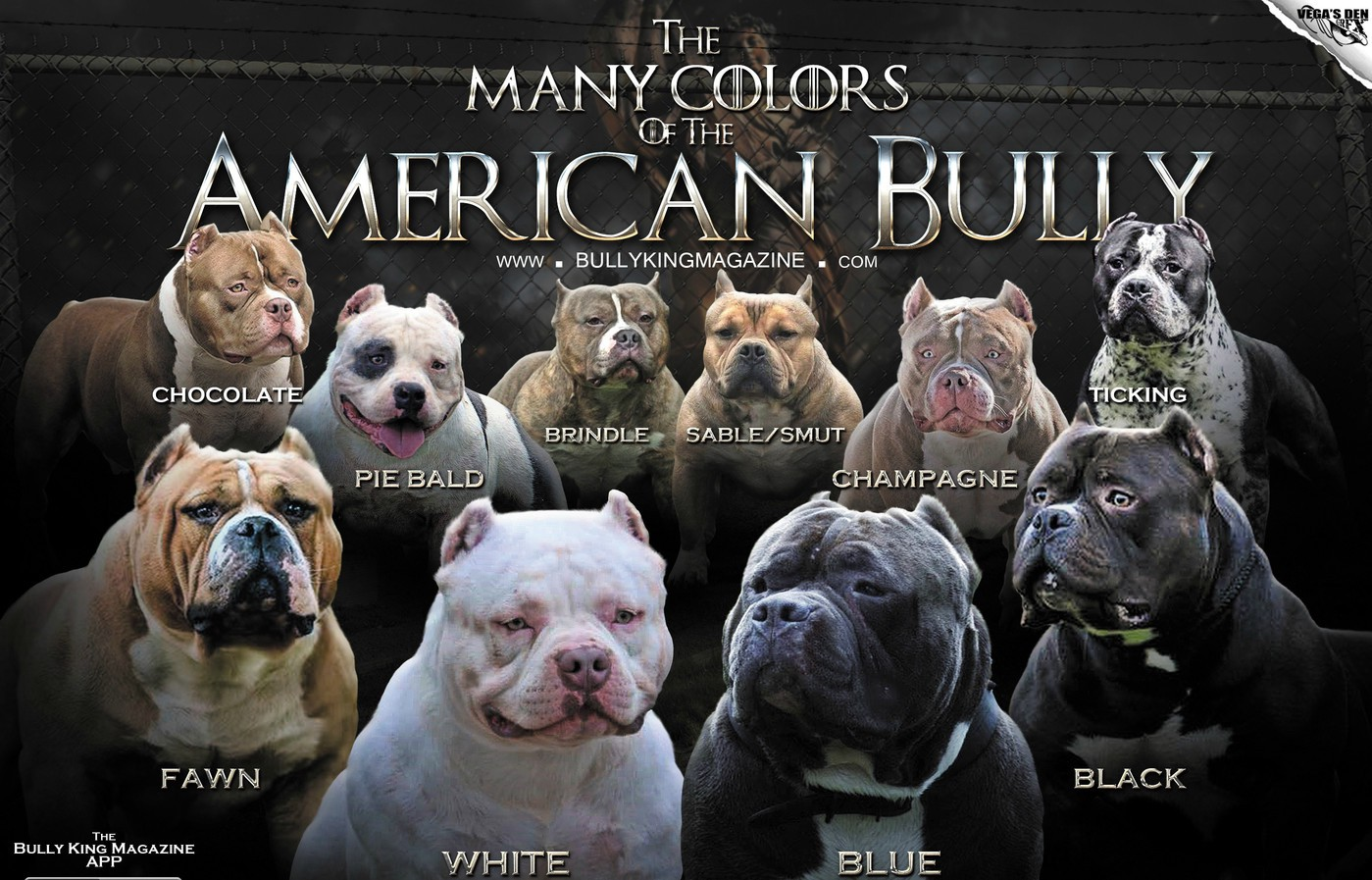The Many Colors Of The American Bully Bully King