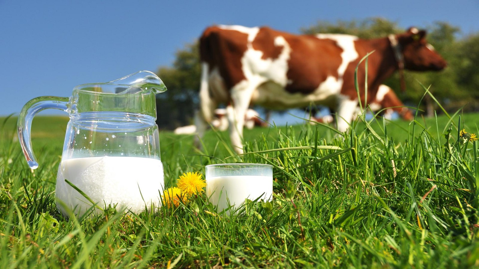 Cow Milk Seems To Be Everywhere And Is Often Taken For Granted But It Has Many Important Health Benefits Humans Including Its Ability Boost The