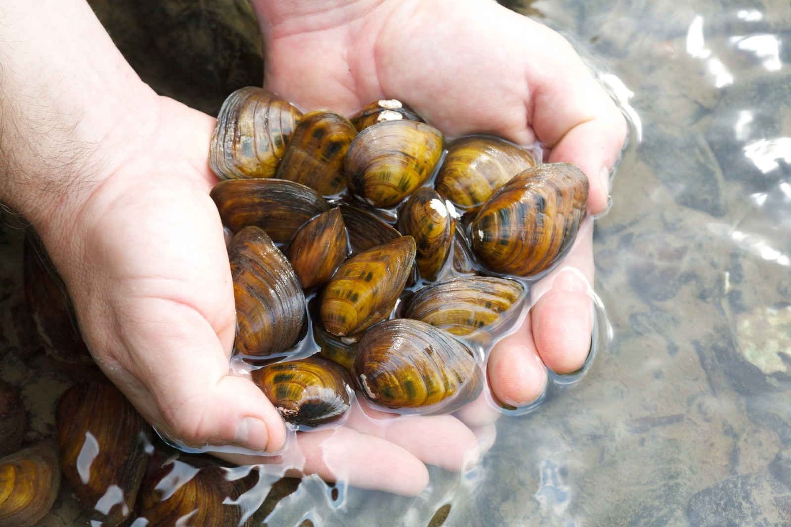 Flexing the mussels of freshwater rivers fish and wildlife cubshell mussel by ryan hagerty usfws north america sciox Image collections