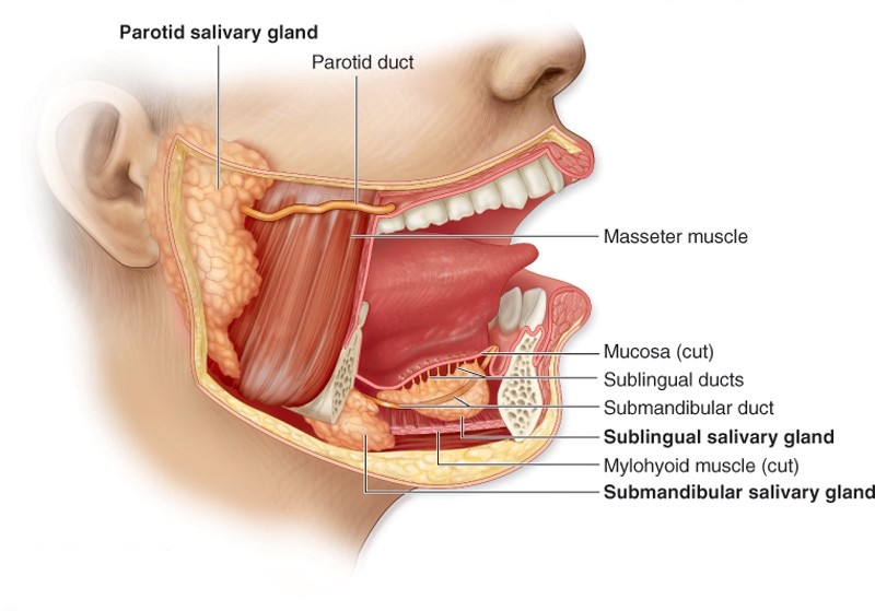 Nutrition And Digestion Mouth Pharynx And Esophagus