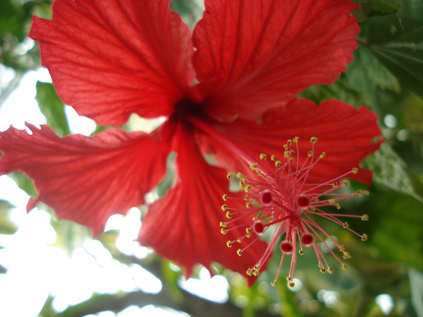 We like what we see botany thoughts medium no one really calls this sort of flower rose mallow though that is one of its common names ive always heard it called hibiscus izmirmasajfo
