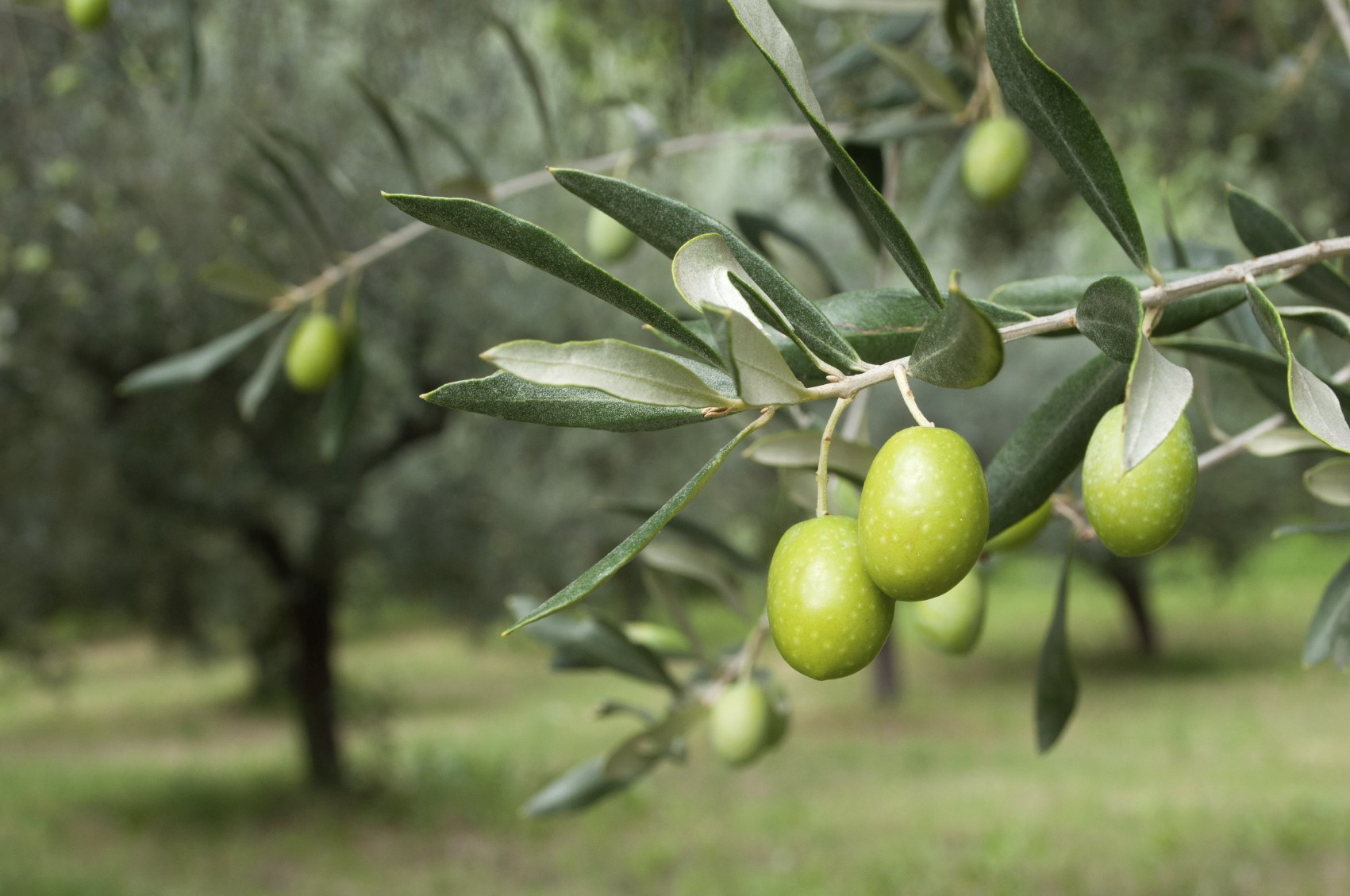 The olive harvest an ancient palestinian tradition the olive tree the symbol of palestinian culture buycottarizona Choice Image