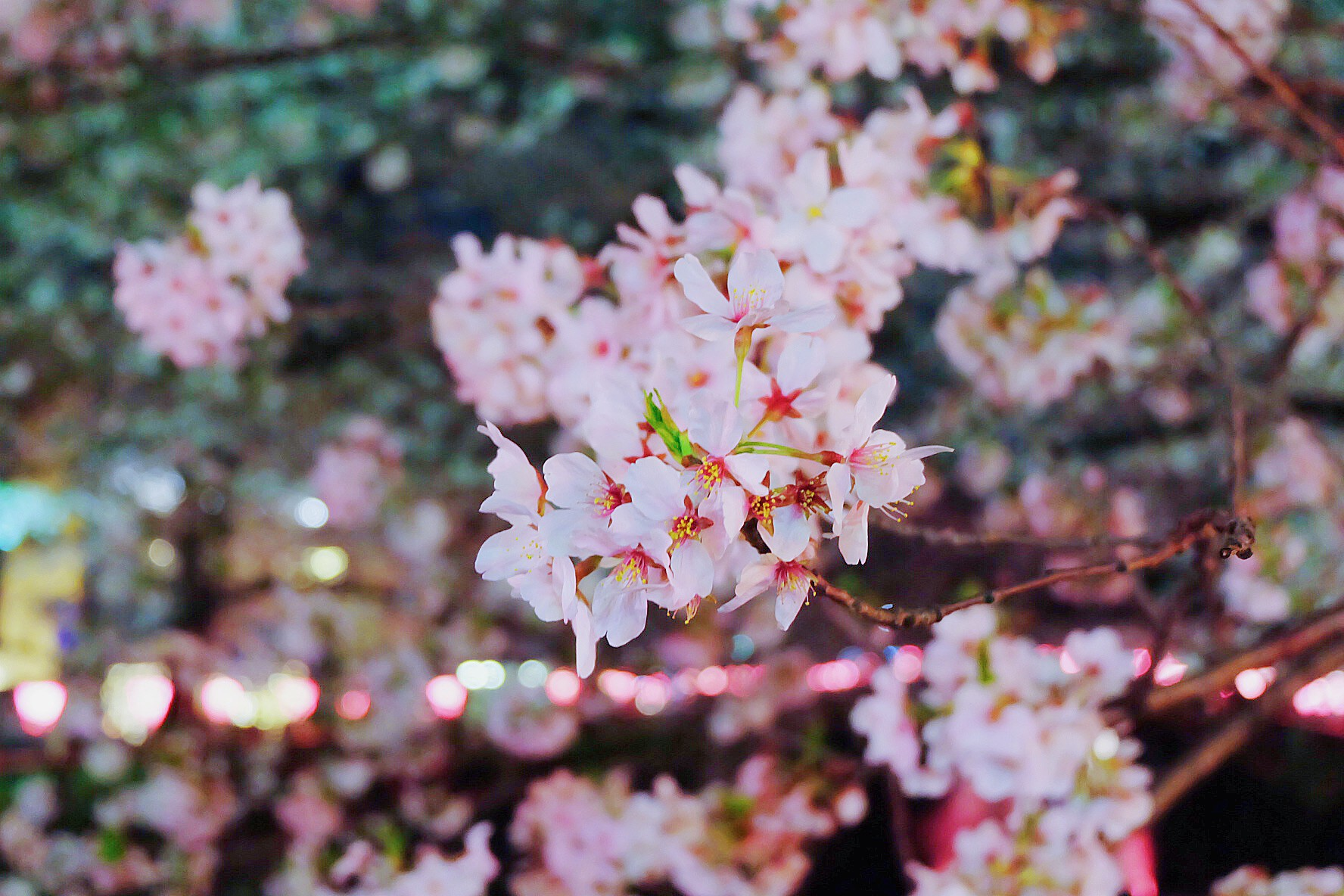 The Facts About Cherry Blossoms In An Travel Guide Jw Web Magazine