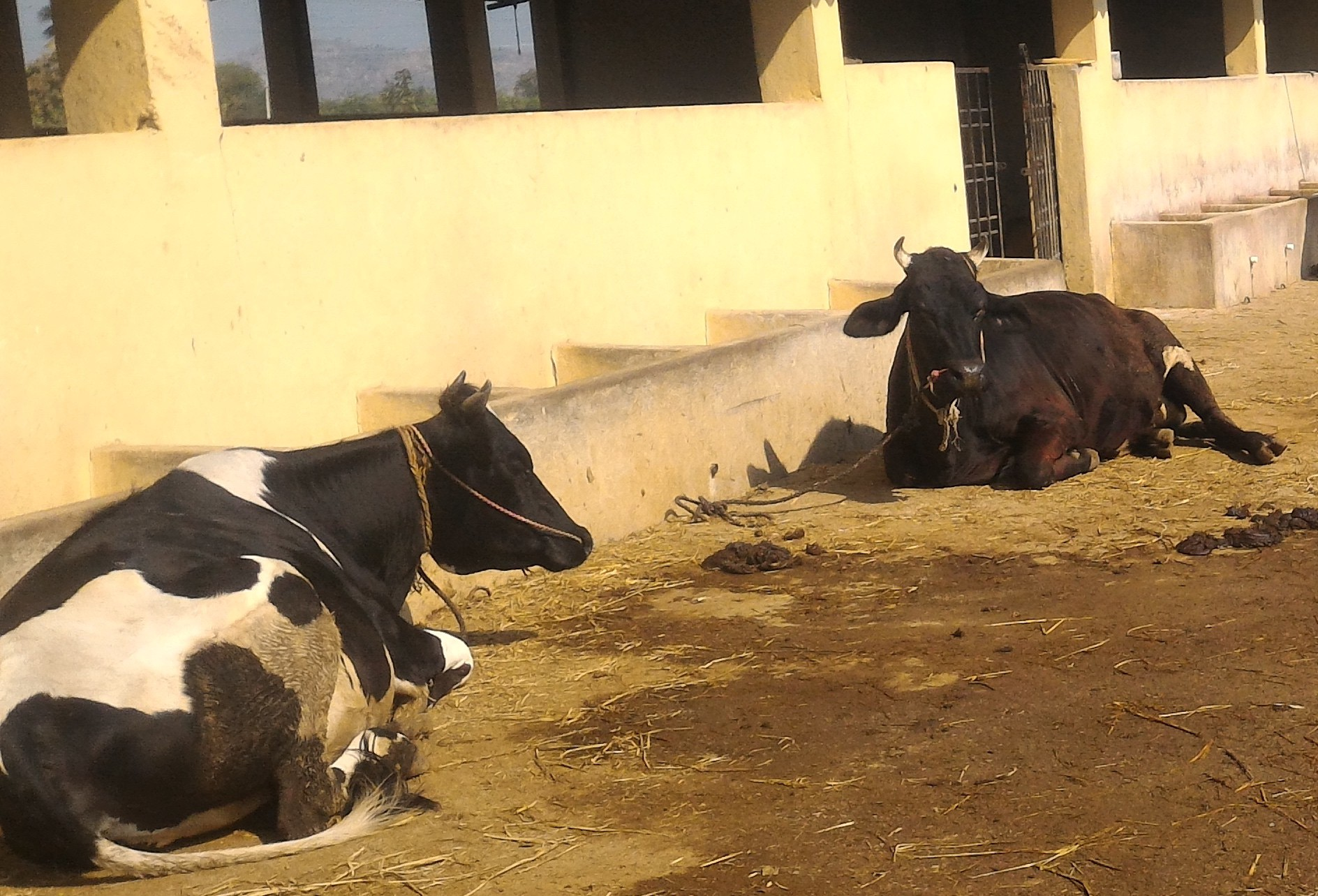 Family regularly bathes in cow dung to avoid skin diseases