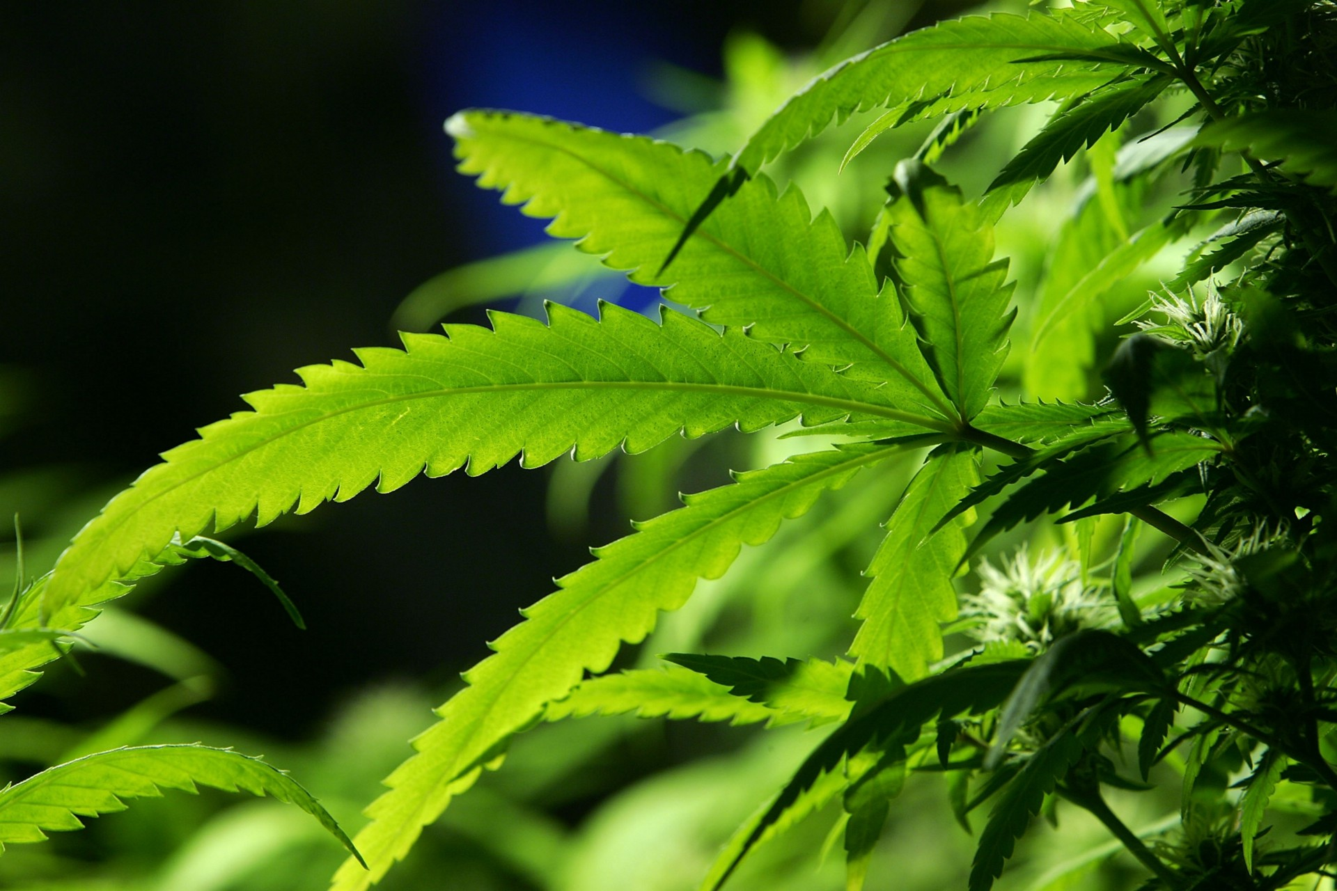 the thesis of marijuana how to argue for weed arguments against marijuana legalization