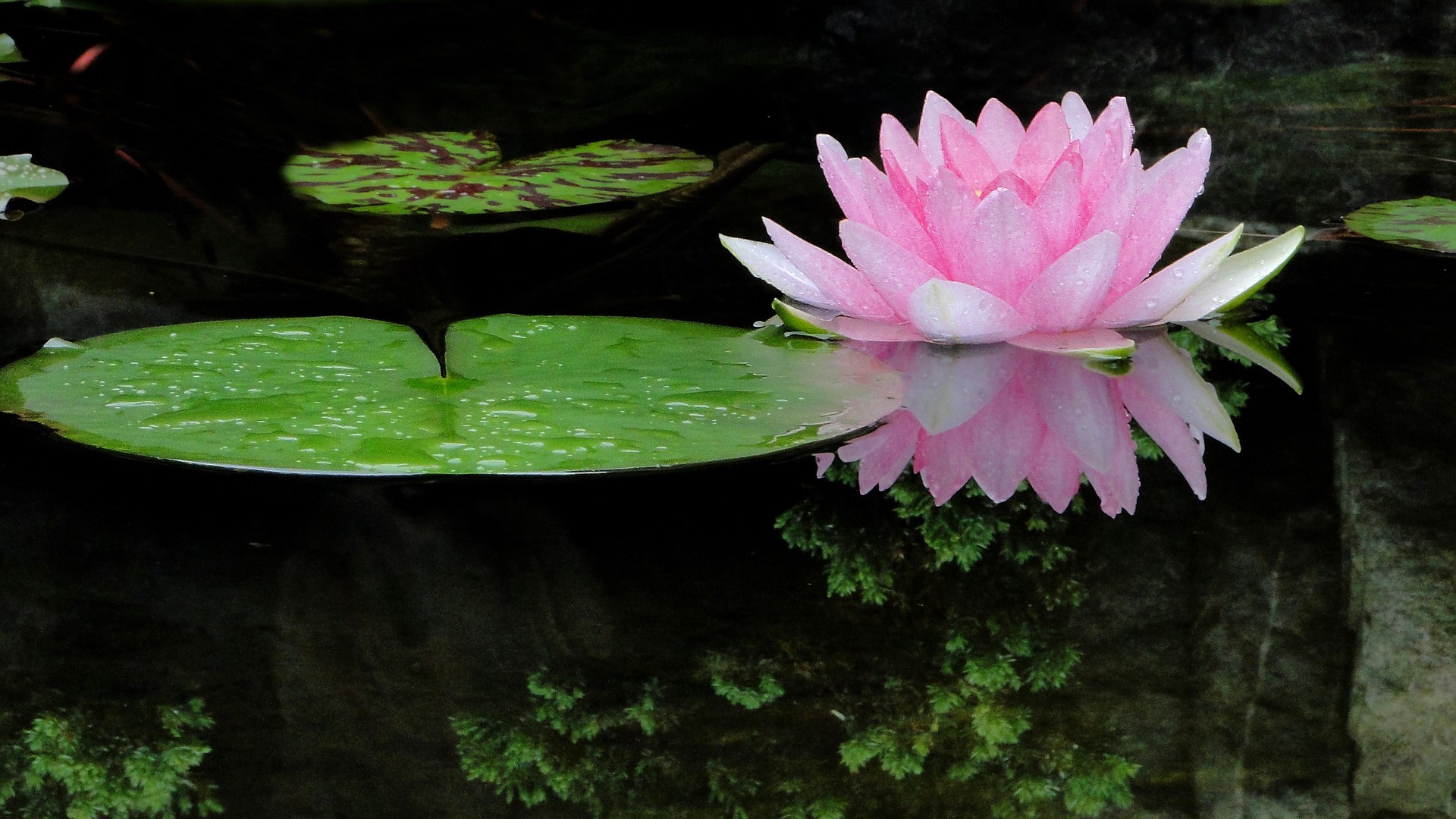 The awakening ps i love you like a dew drop falling upon a lotus bud i am awakened to my souls deepest desires of love and freedom izmirmasajfo