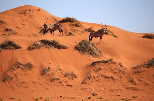 Oryx in the red dunes of the Kalahari desert, Southern Namibia.