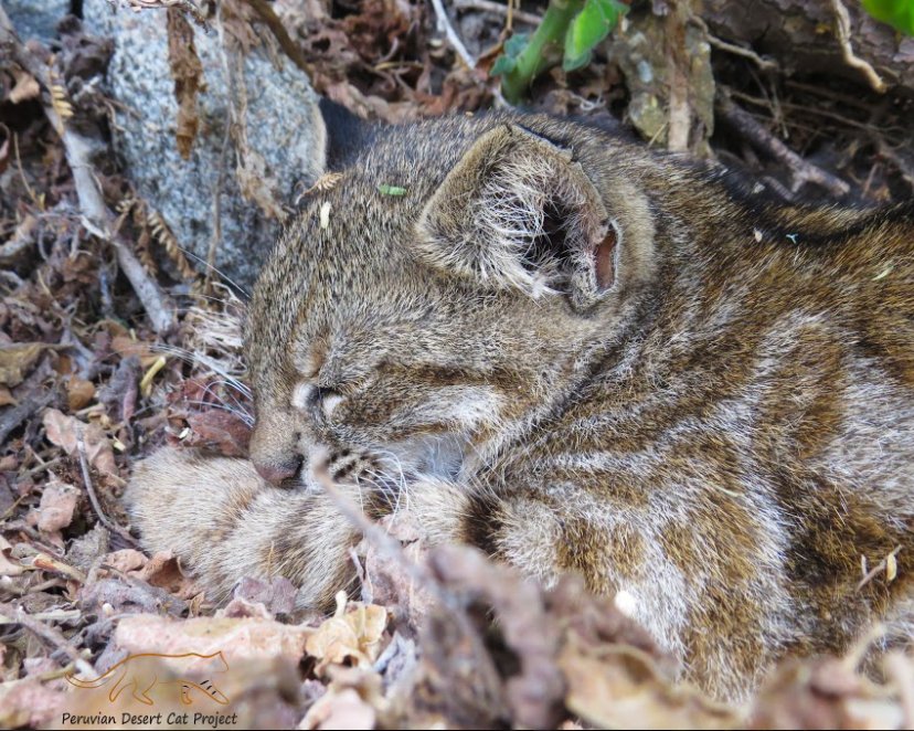 A Pampas cat taking a nap in the Illescas Reserve Zone, Peru.