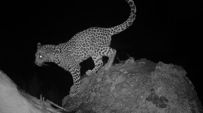 Here is a camera trap photo of a leopard on Oana, using camera trap photos, 17 individual adult leopards and four cubs have been identified.