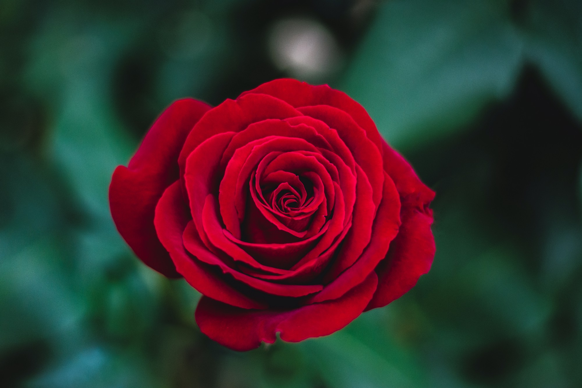 the rose p s i love you