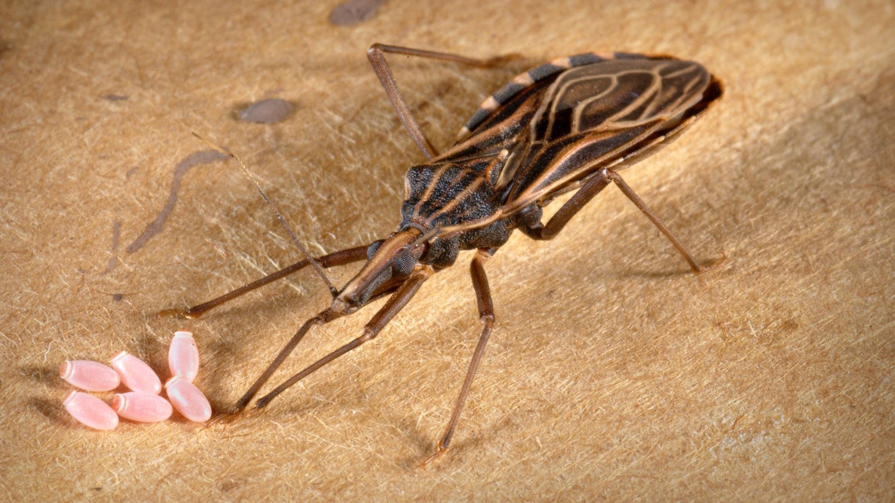 Insects Behind Chagas Disease Are Feeding on Humans in the U.S