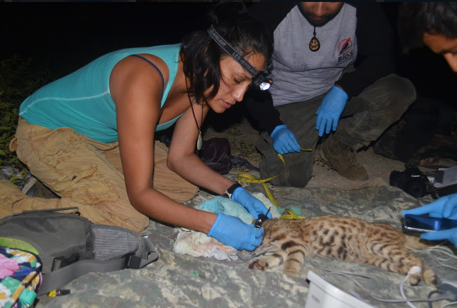 Cindy Hurtado, a founding member of BioS and co-lead of the Peruvian Desert Cat Project collaring a Pampas cat in San Pedro de Vice Mangrove.