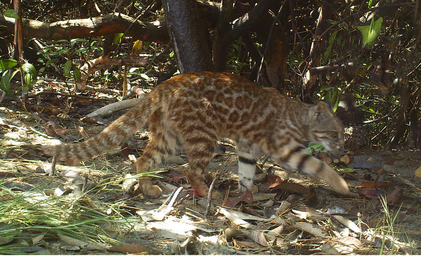 A Pampas cat captured on camera trap as it darts through the undergrowth in San Pedro de Vice Mangrove, Peru.