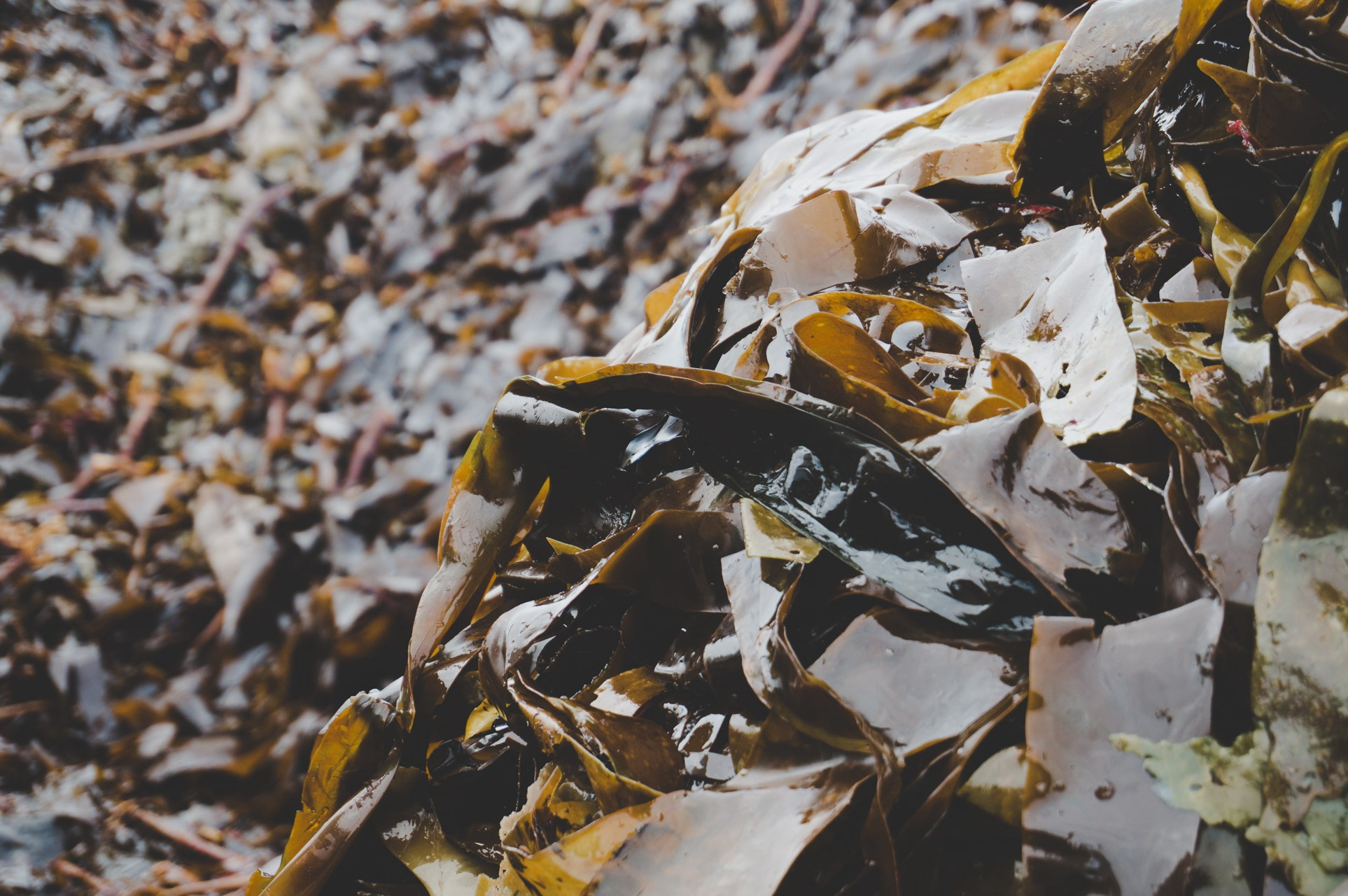 Seaweed is one of the fastest growing organisms on the planet, at half a metre per day, and could solve the problem of non-biodegradable packaging. Image credit - Skipping Rocks Lab