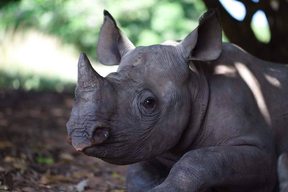 An orphaned baby black rhino at Care for Wild. Photo courtesy of Care for Wild.