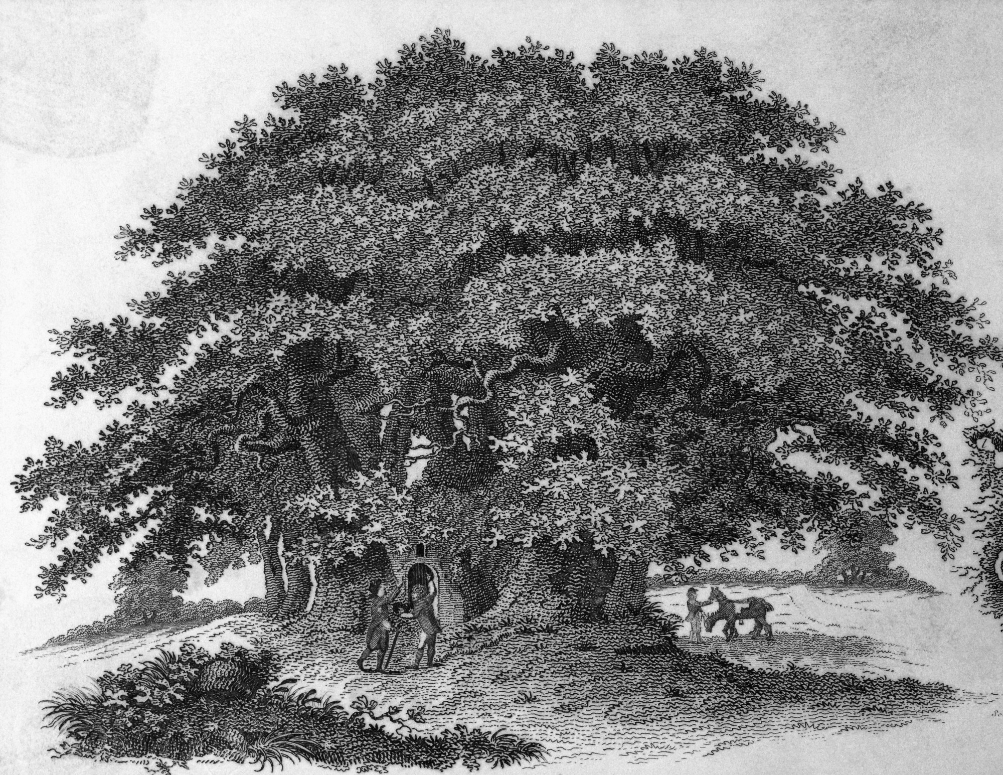 There used to be 4 billion American chestnut trees but they all