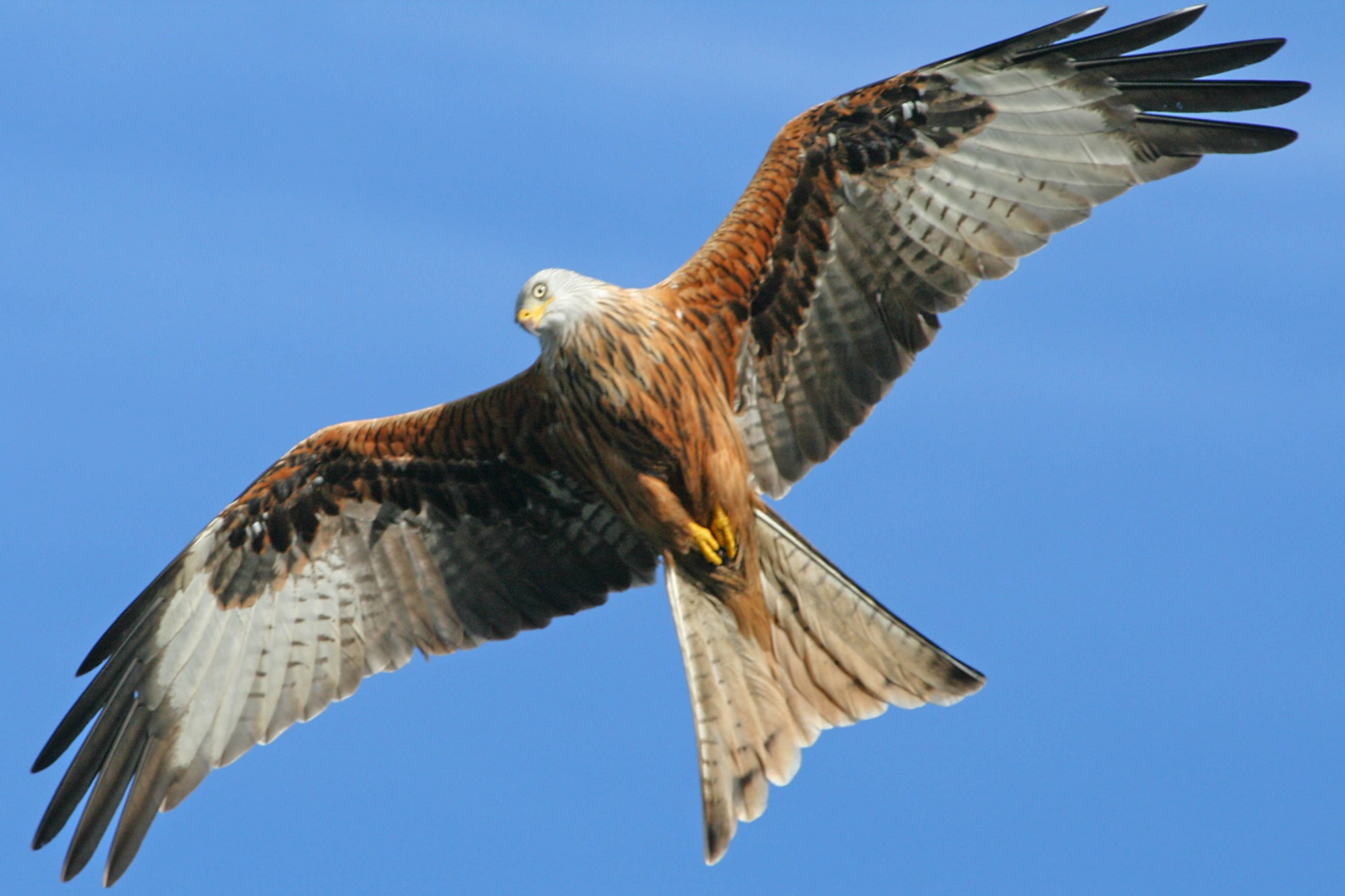 list of synonyms and antonyms of the word  red kite