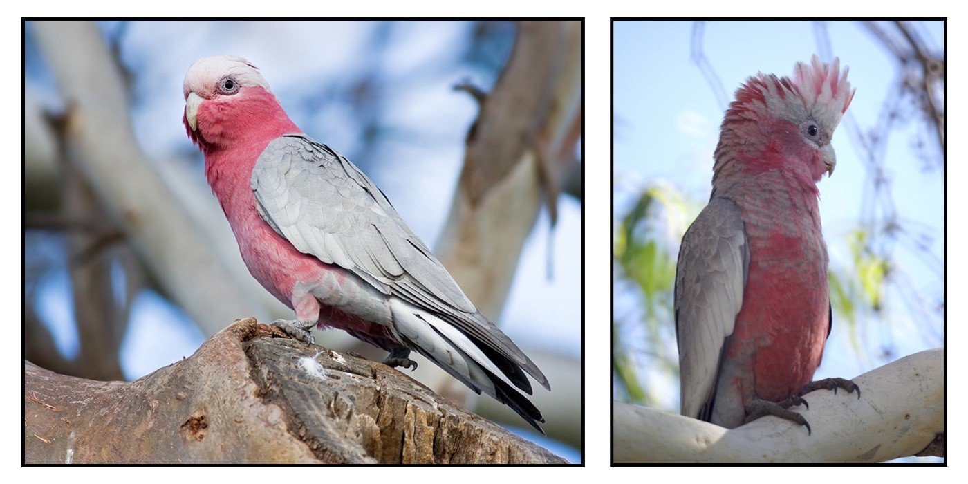 Something is. Male and female pink cockatoos question opinion