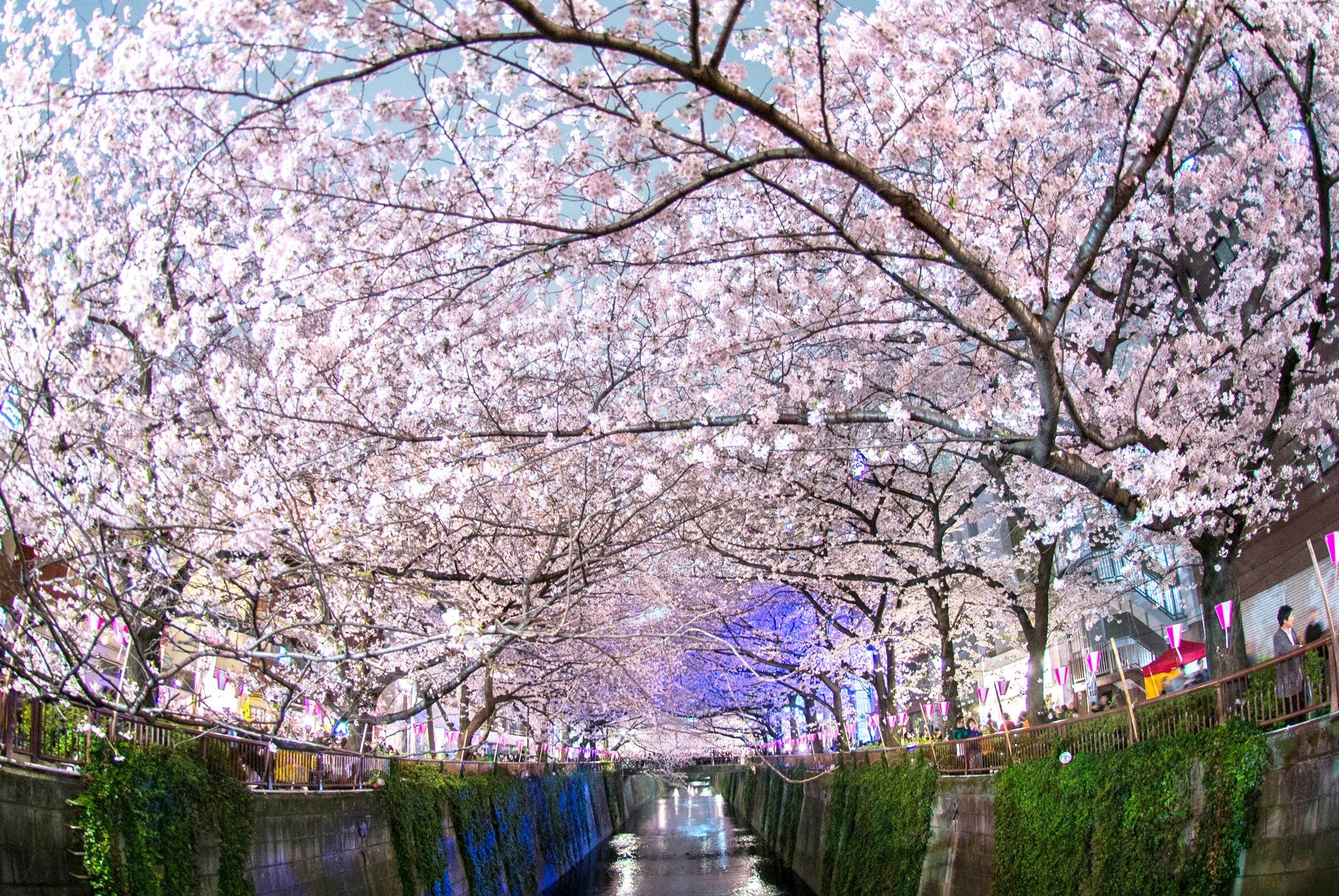 Japans Cherry Blossom Wallpapers