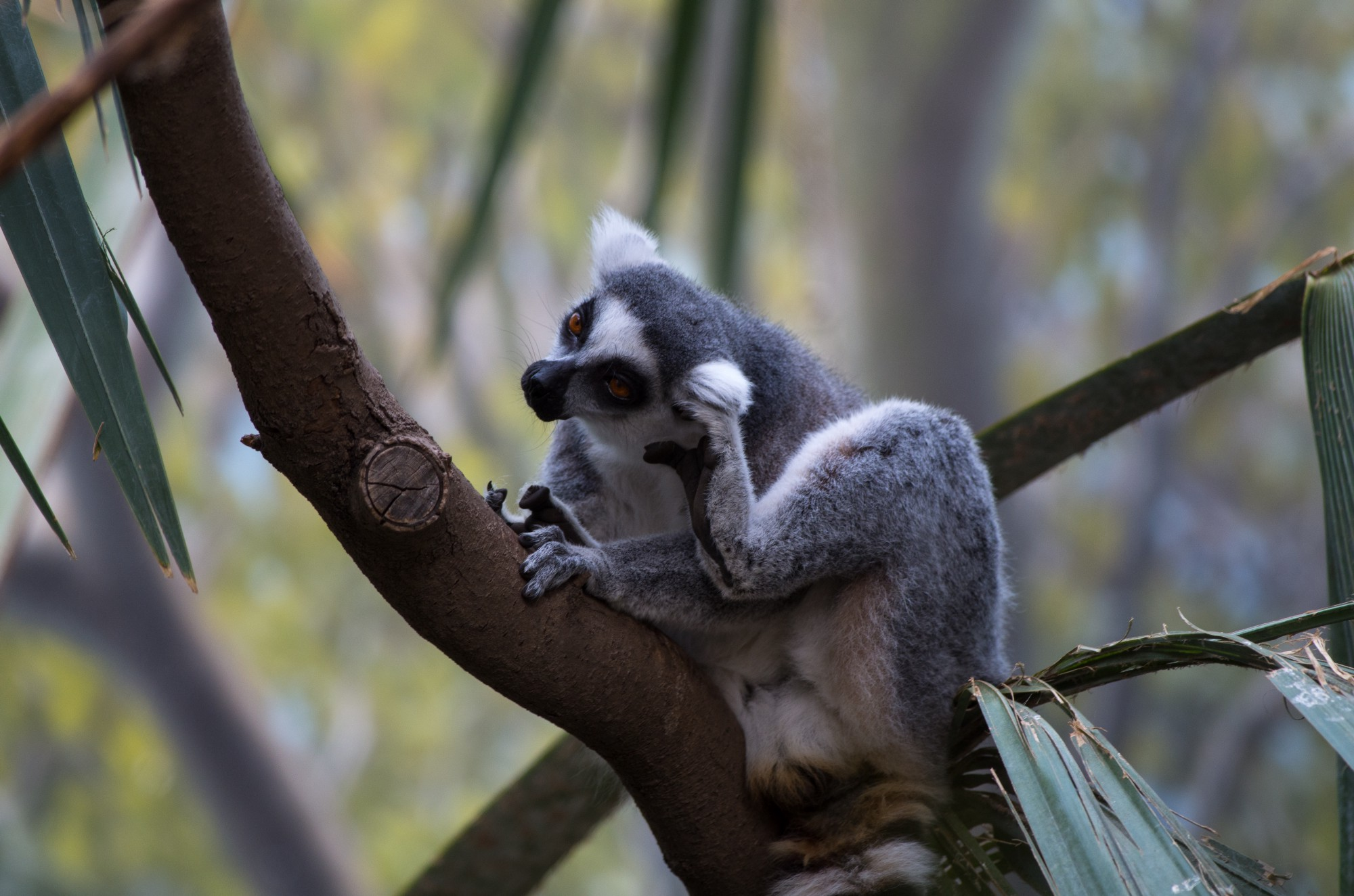 2 000 ring tailed lemurs left in the wild not so fast