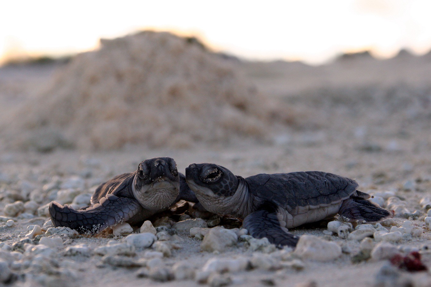 protecting sea turtles: coast to coast – u.s. fish & wildlife