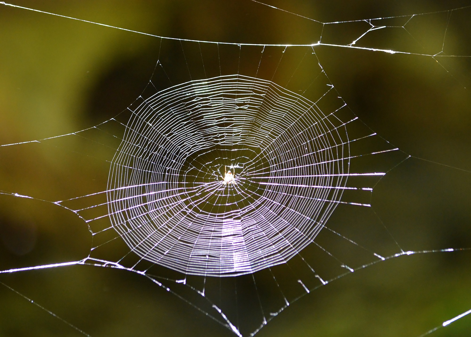 Traditional Spider Web Flash