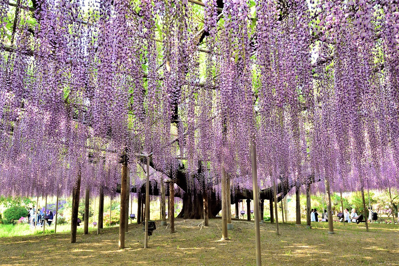 2018 great wisteria festival at ashikaga flower park mightylinksfo