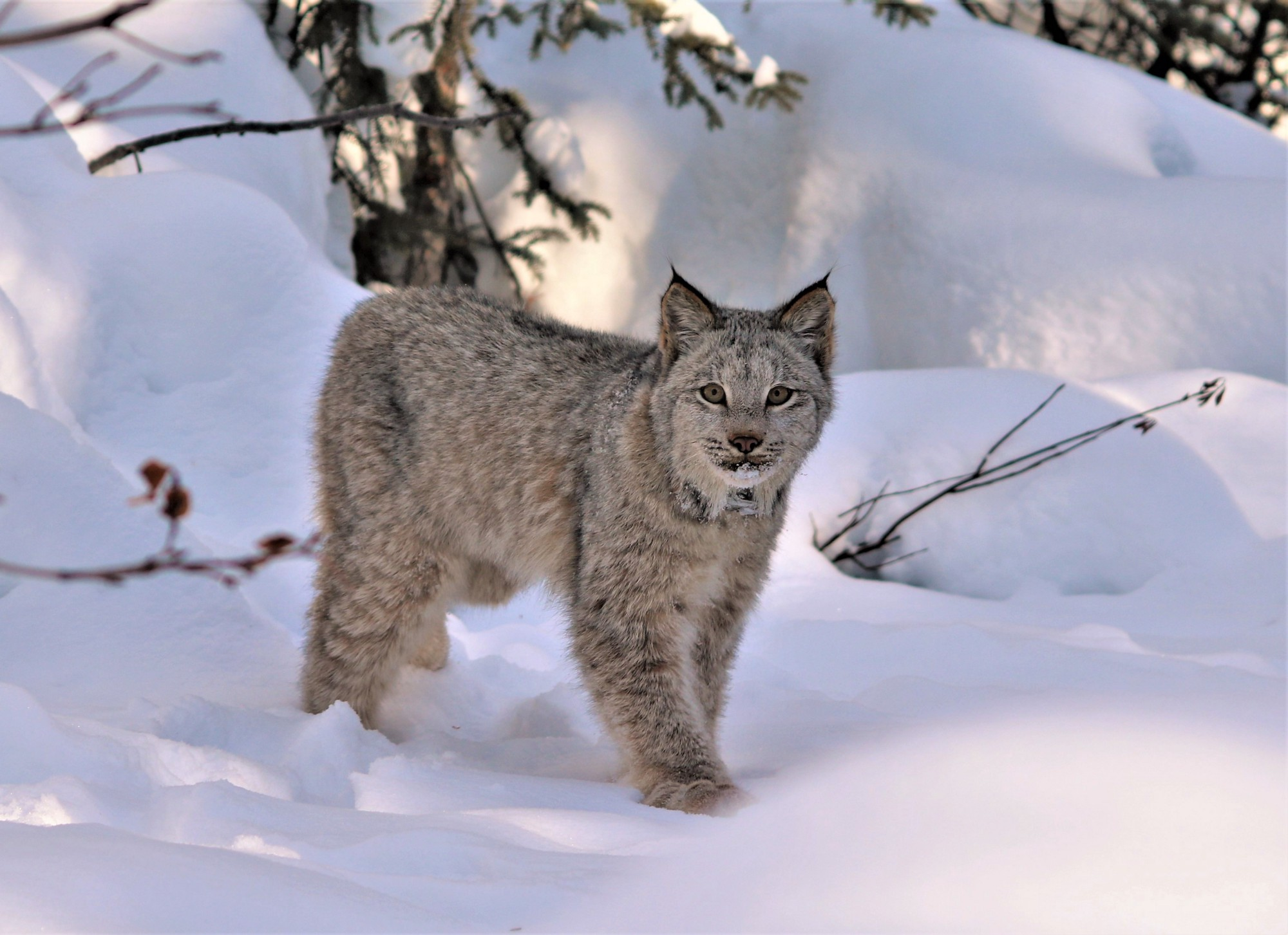 a glimpse into the fascinating world of the canada lynx