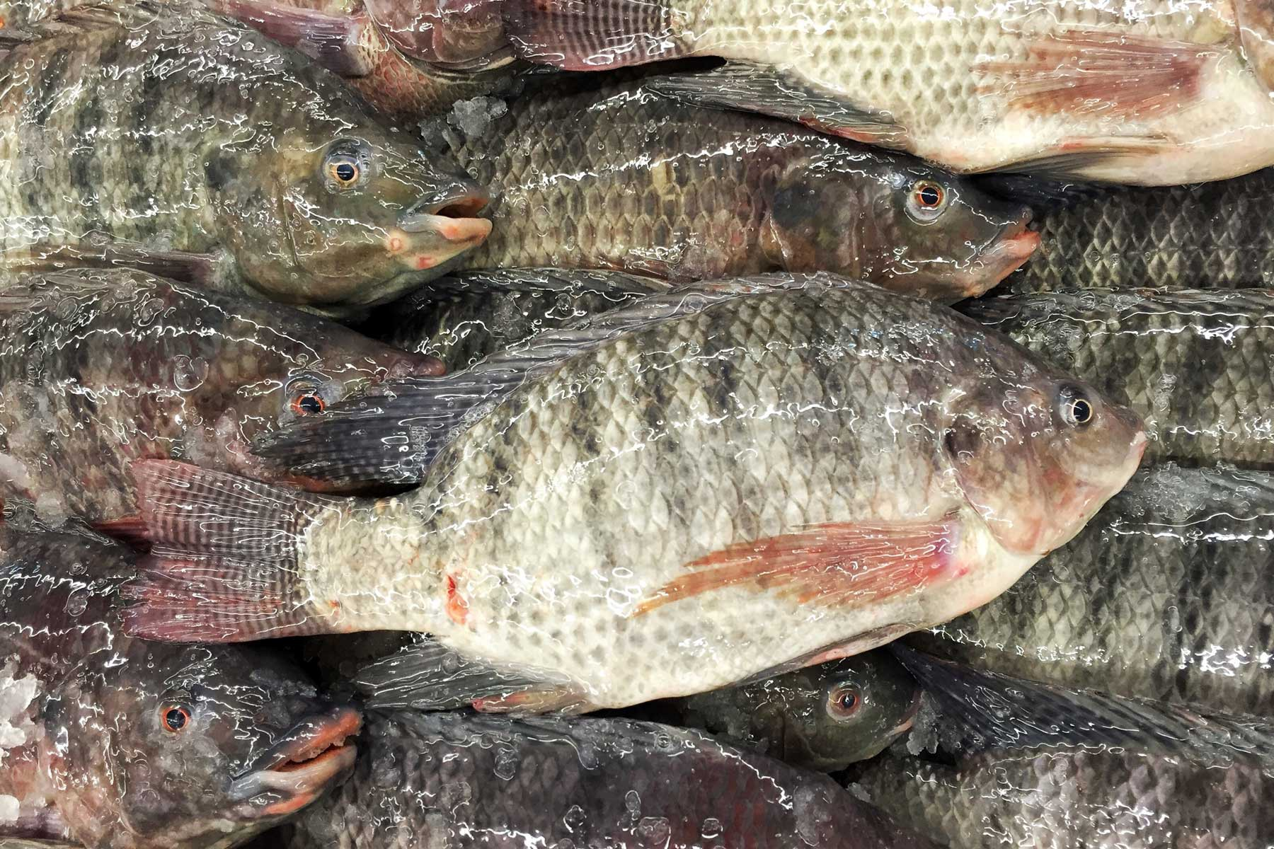 Aquaculture and tilapia a fish that may tip the balance for Tilapia not real fish