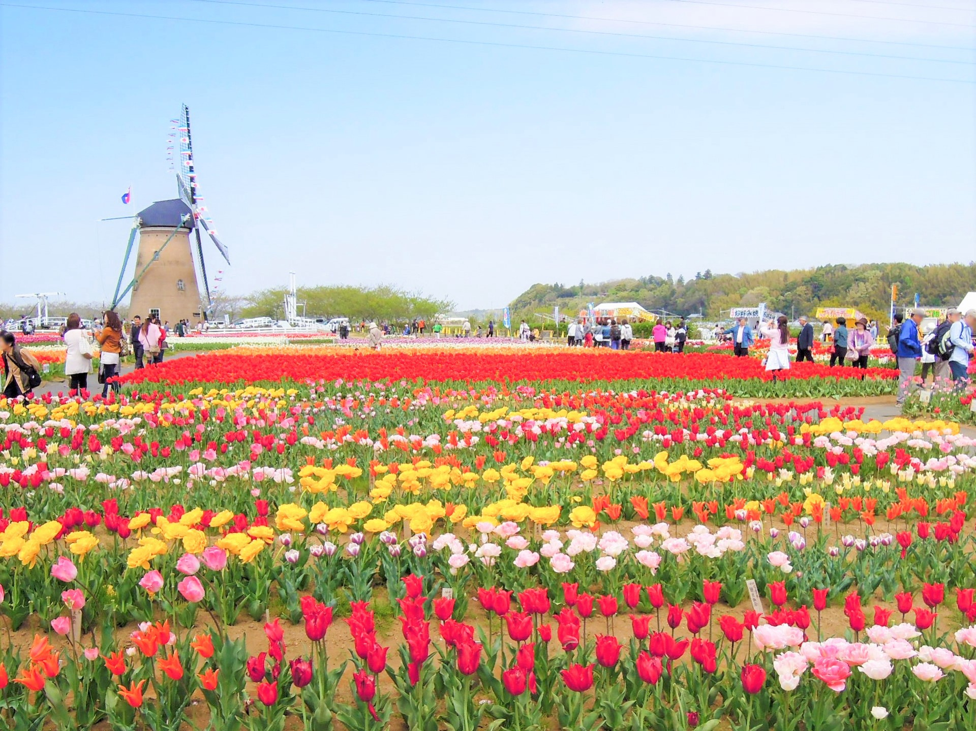 Sakura tulip festa 2018 japan travel guide jw web magazine besides cherry blossoms there are many more beautiful flowers flourish during spring in japan sakura tulip festa is the biggest tulip festival around mightylinksfo