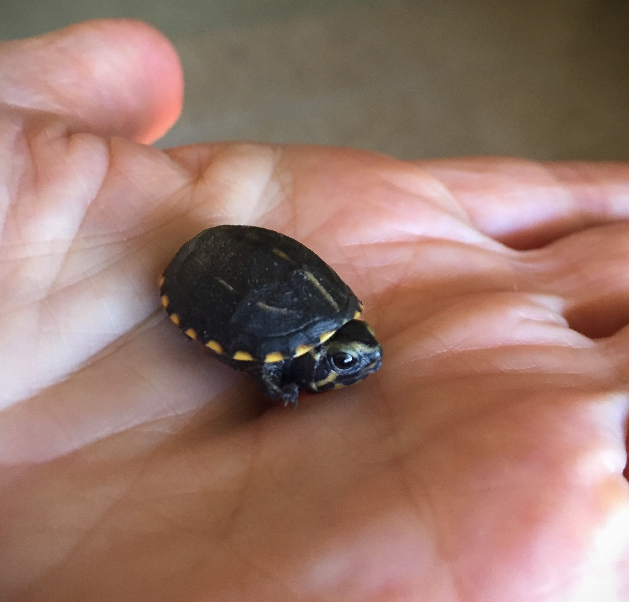Striped Mud Turtle Hatchling Found In Swimming Pool