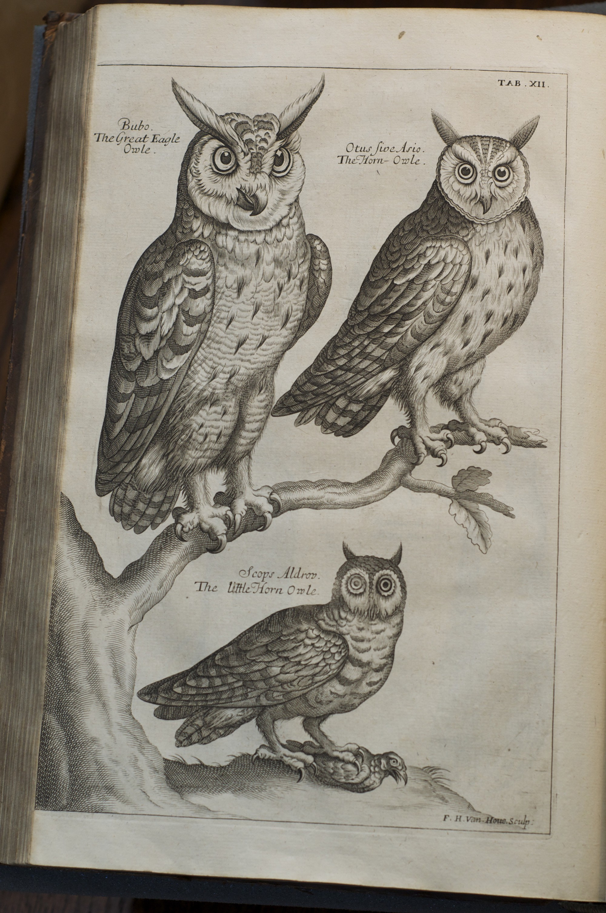 Owls From Ornithologia Libri Tres By Francis Willughby Wren Library Trinity College