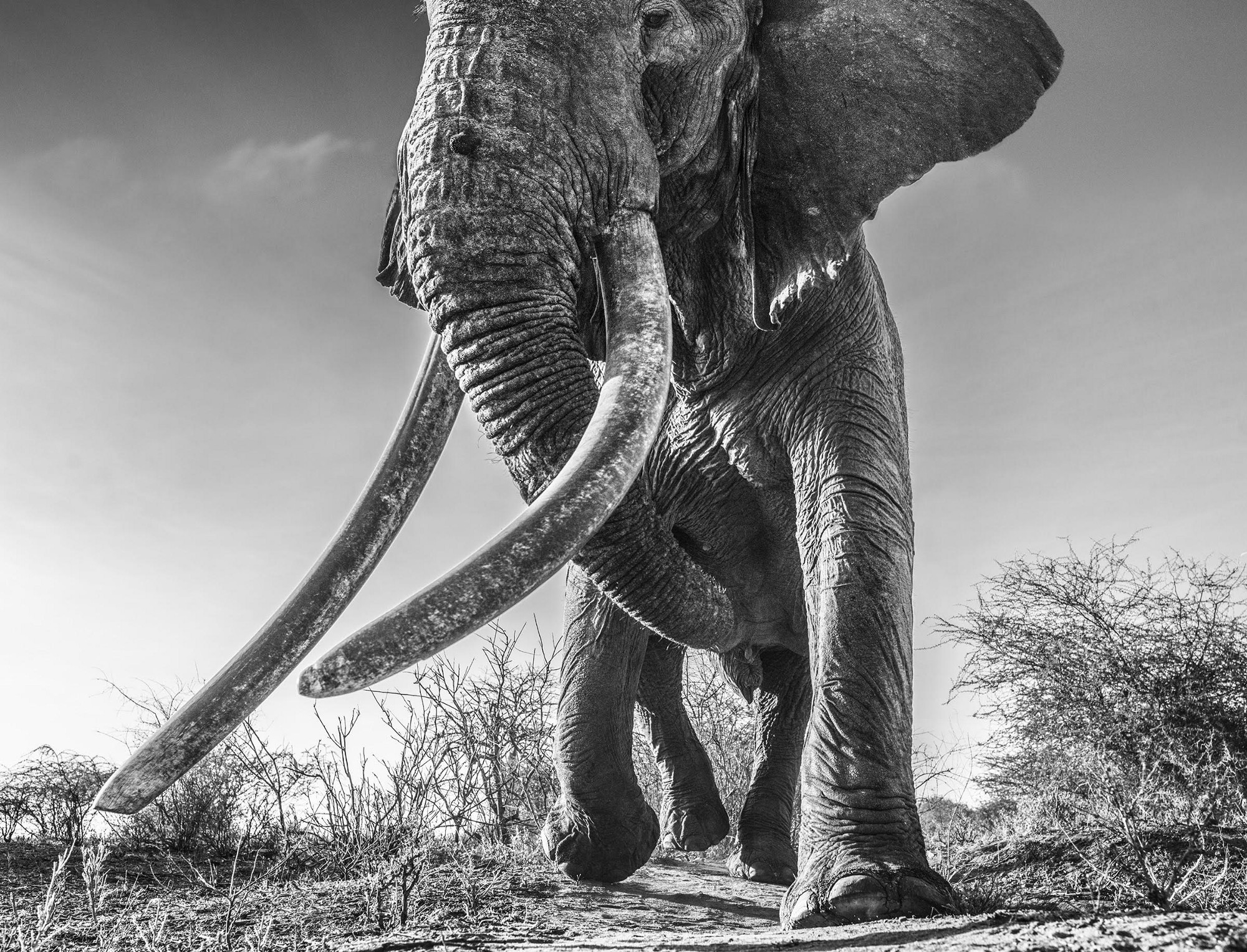photo lugard � the world�s biggest big tusker elephant