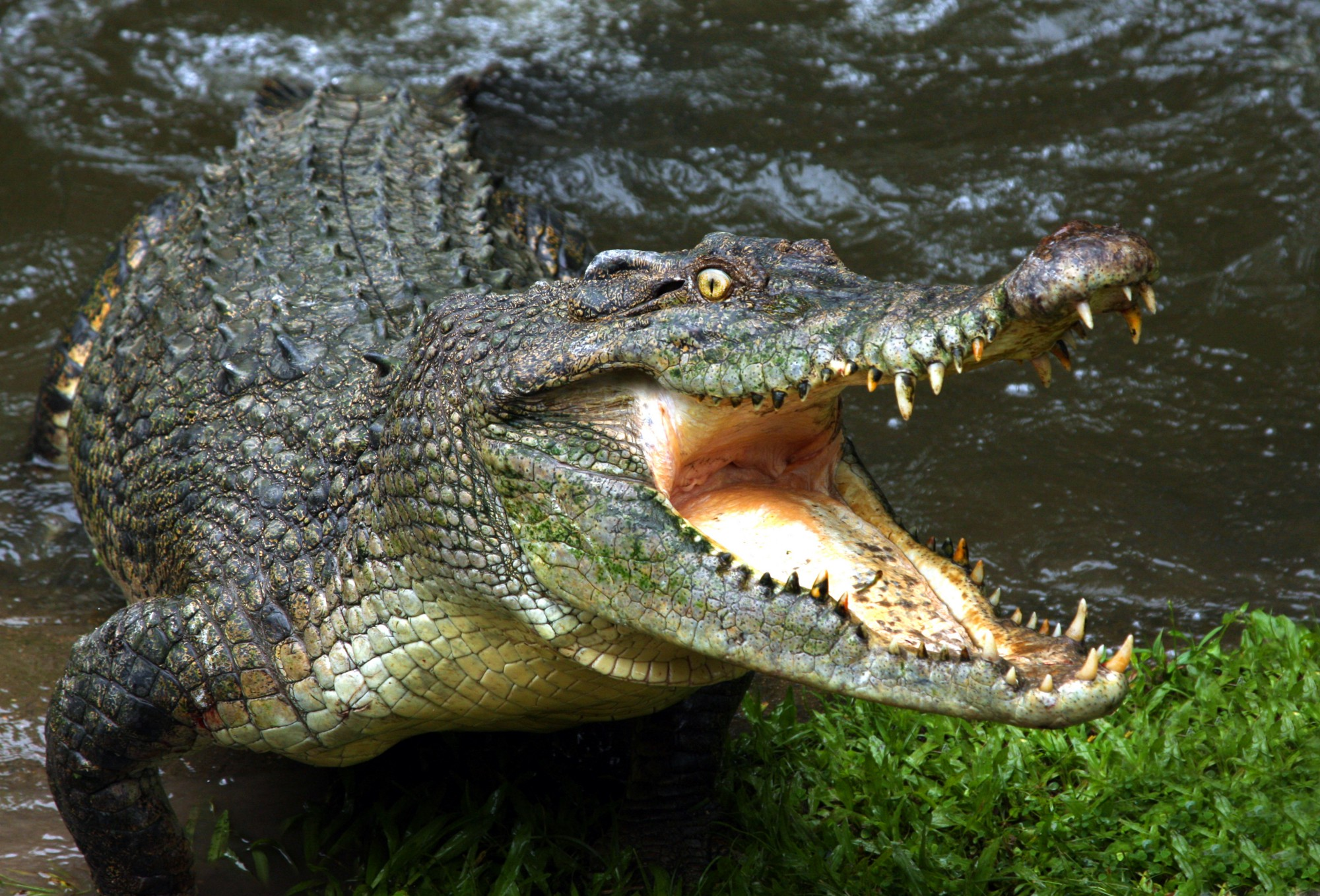 The enormous crocodile — owner of nature\'s most complex heart