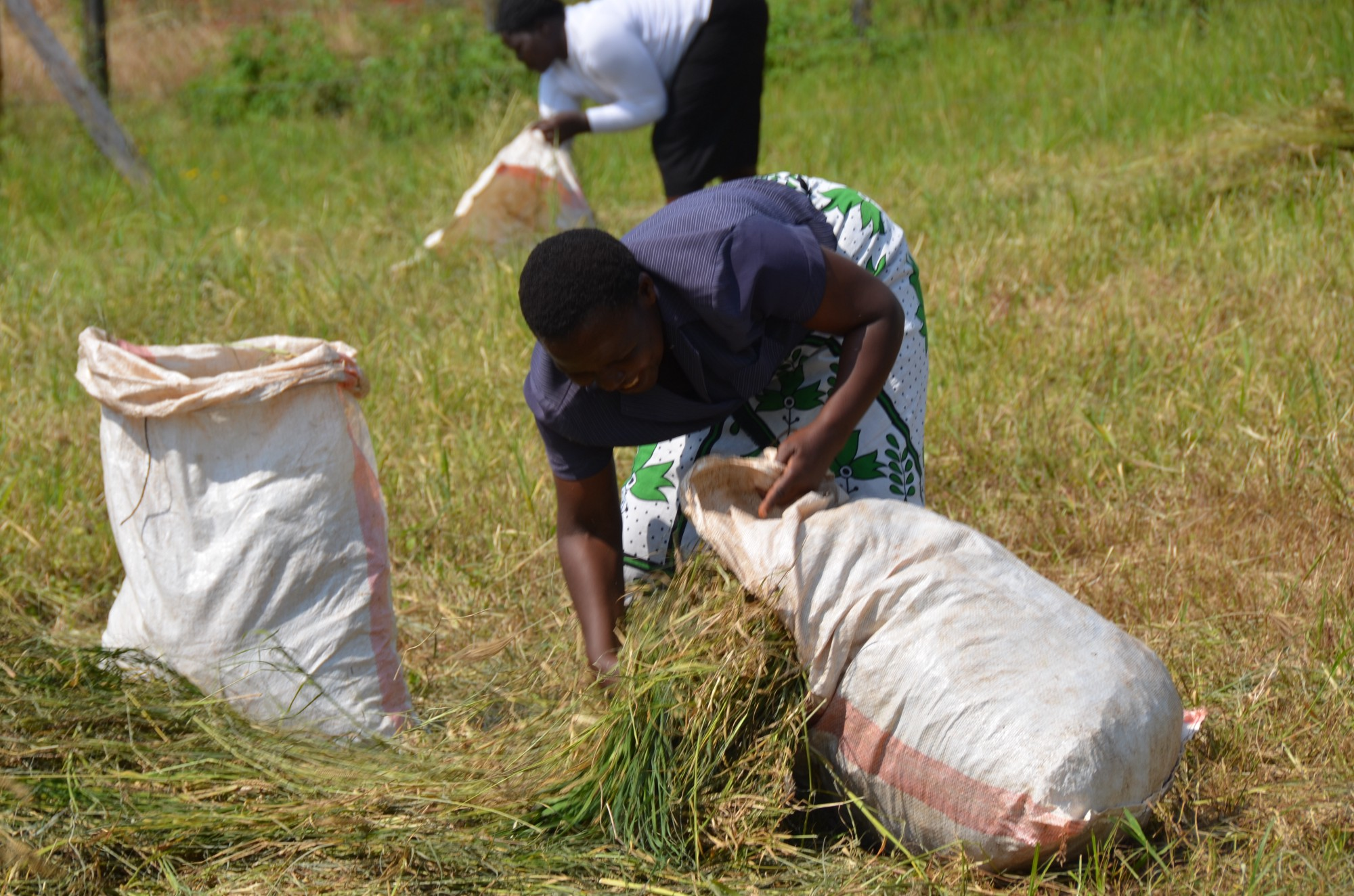 Explain popularly what is fodder and feed wheat