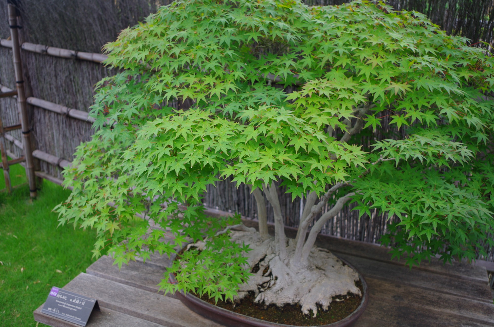 Japanese Gardening : BONSAI
