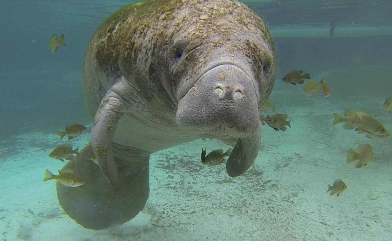 manatees the cows of the sea essay (save the manatee club is one of the mrp partners) save the manatee club staff handle reports from the public on injured manatees and help to facilitate rescues smc has also provided funds for equipment used in manatee rescue and rehabilitation efforts both in and outside of florida.