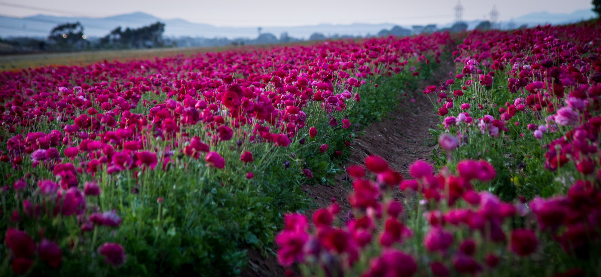Eruption of color is a rite of spring at carlsbads flower fields the flower fields mightylinksfo