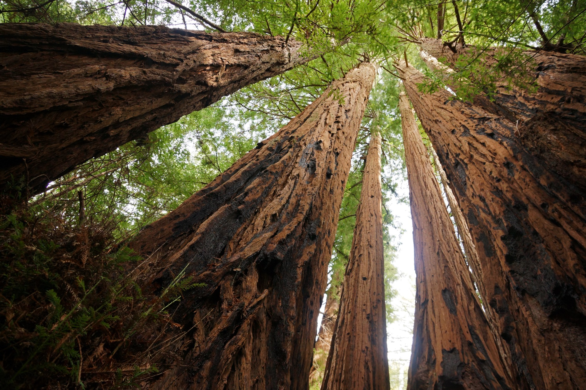 how climate change is affecting our redwood forests