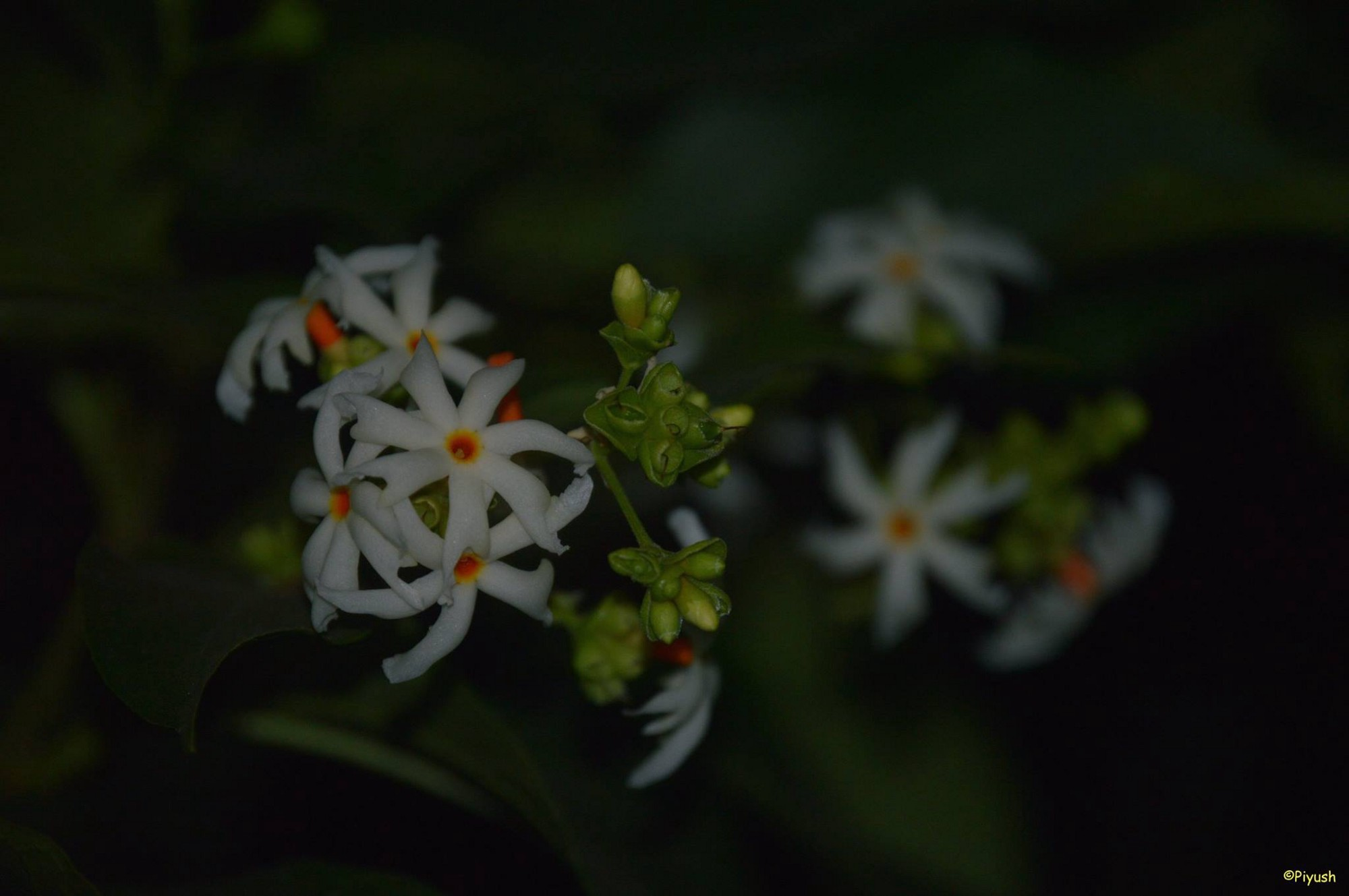 Why Ganga Siuli Called Tree Of Sorrow And Queen Of The Night