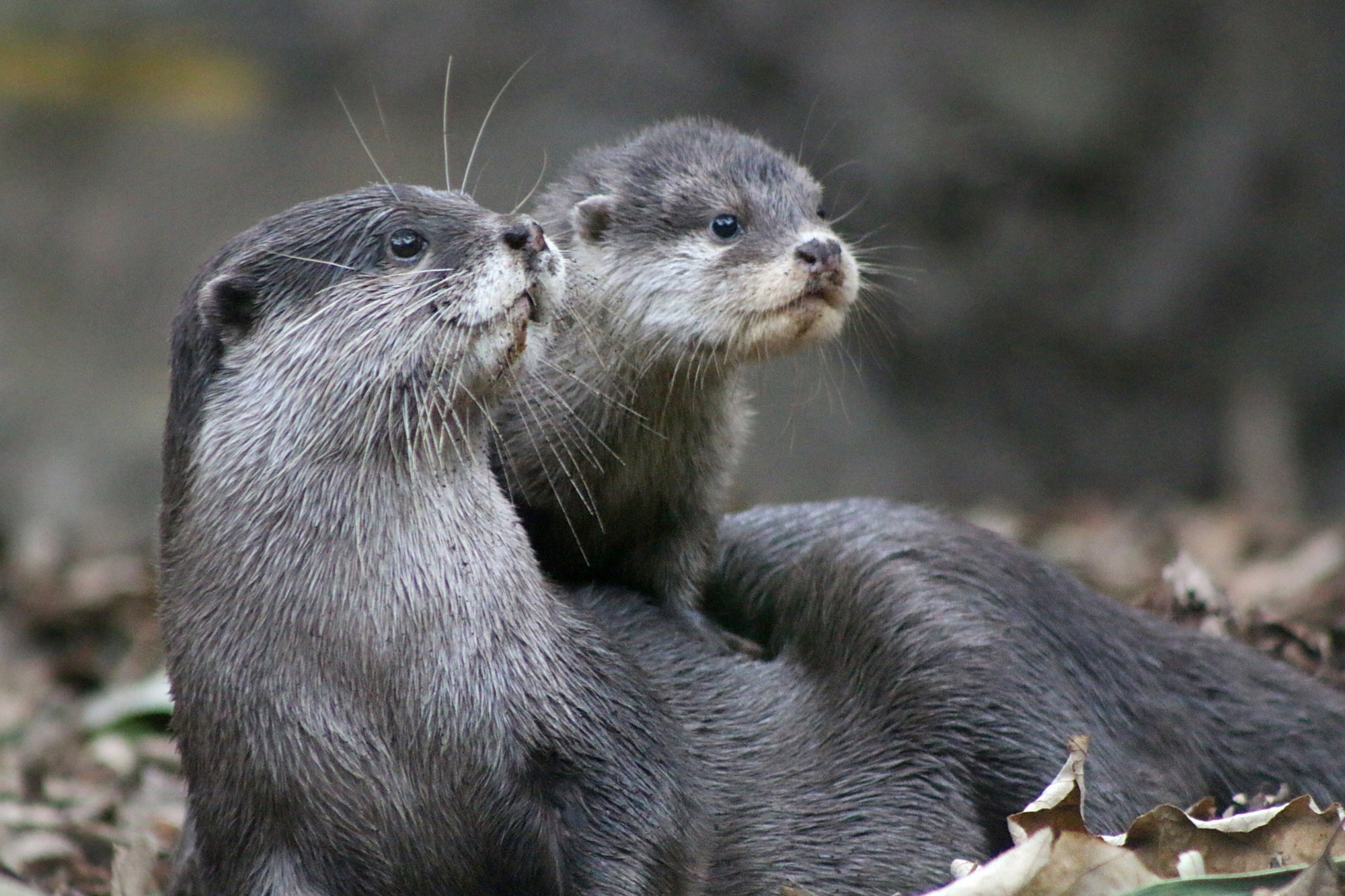 10 facts you might not know about the adorable otter