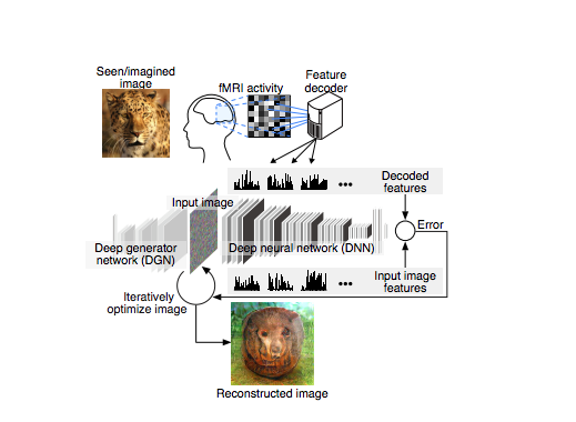 The model translates scans from an fMRI into images of the subject's perceptual experience [Source](https://www.biorxiv.org/content/biorxiv/early/2017/12/30/240317.full.pdf)