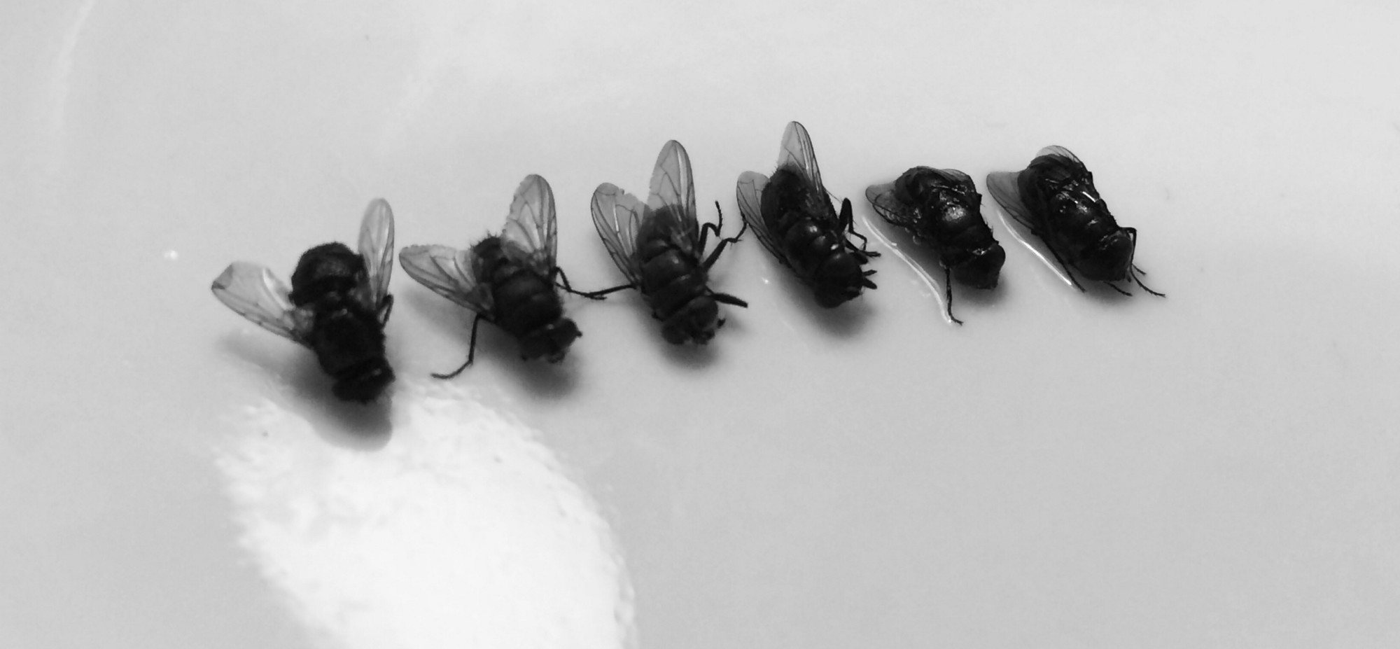 How to get rid of annoying kitchen blackflies