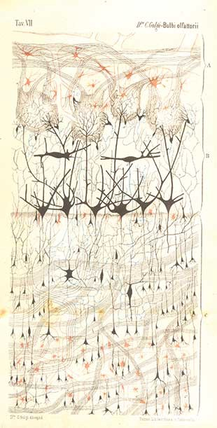 Early drawing of neurons, Camilo Golgi 1875