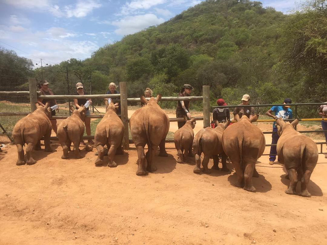 Milk time at Care for Wild. The crash of baby rhinos love their time grazing but when it's milk time, they race back up the road and line up, ready! Once the beautiful baby bums have finished guzzling their milk, they head back out to take their after-milk nap. Photo courtesy of Care for Wild.