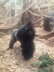 Real gorilla, also startling
