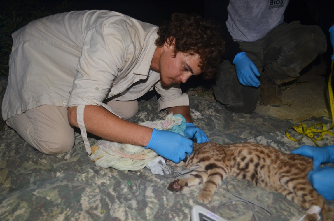 Alvaro García-Olaechea, a founding member of BioS and co-lead of the Peruvian Desert Cat Project collaring a captured Pampas cat in San Pedro de Vice Mangrove.